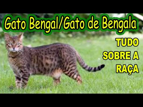 GATOS BENGAL/GATO DE BENGALA/TUDO SOBRE A RAÇA DE GATOS BENGAL/CARÁTER/GUIA DO GATO DE BENGALA